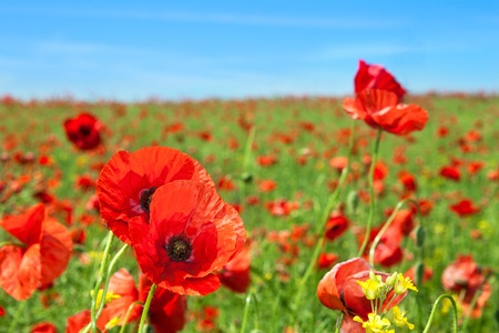 Summer landscape, wild poppy flowers field. photo