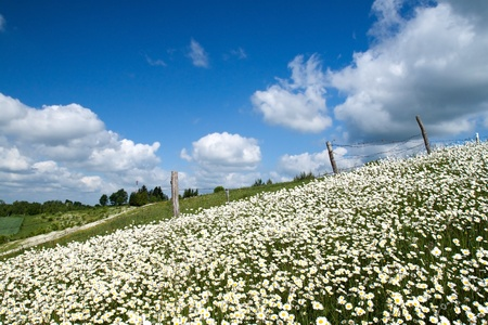 Countryside meadow with summer white flowers. photo