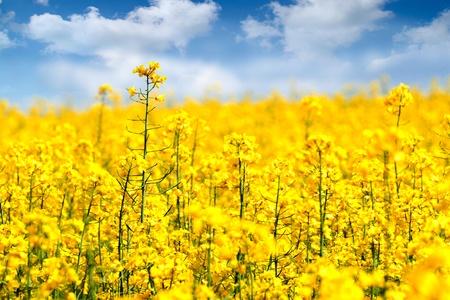 yellow  agriculture: Campo de flores de violaci�n amarillo en verano. Foto de archivo