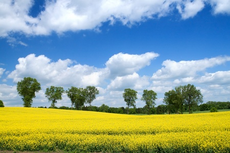 Summer landscape with rape flowers field and blue sky. Stock Photo - 9603893