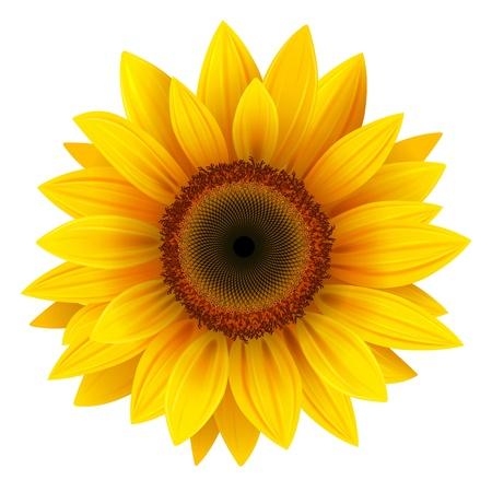 Flower: Girasole vettoriale, illustrazione realistico. Vettoriali