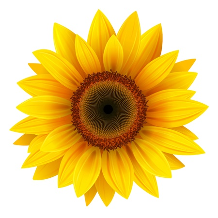 Vector sunflower, realistic illustration.