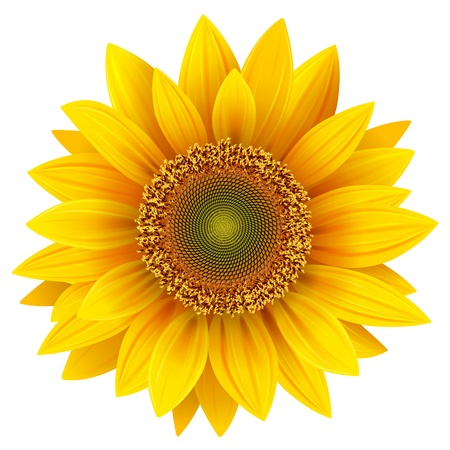 sunflower isolated: Girasol de vector, ilustraci�n realista.