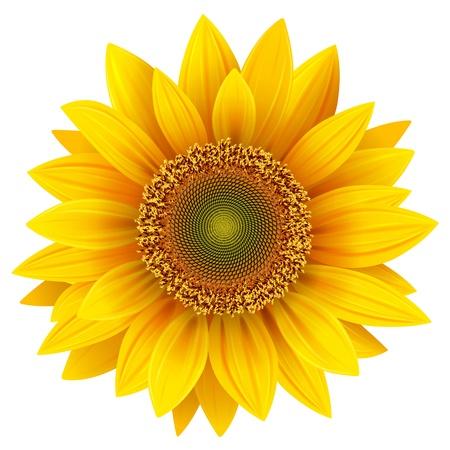 semillas de girasol: Girasol de vector, ilustración realista.