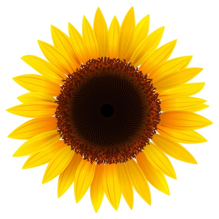 yellow stamens: Vector sunflower, realistic illustration.