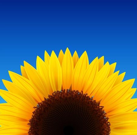 zonnebloem: Zonnebloem achtergrond met blauwe hemel.