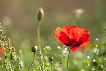 Wild poppy flower at sunny day photo
