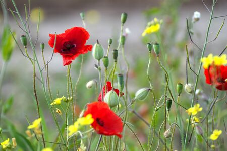 poppy leaf: Poppies and summer wild flowers at sunny day.