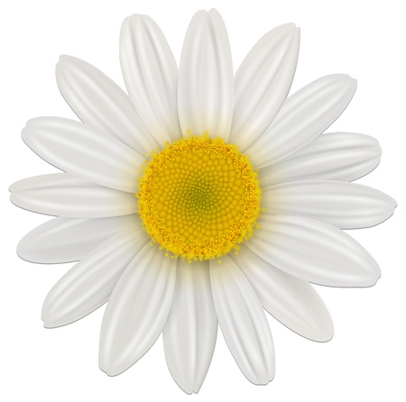 white daisy: Daisy, chamomile flower isolated; vector.
