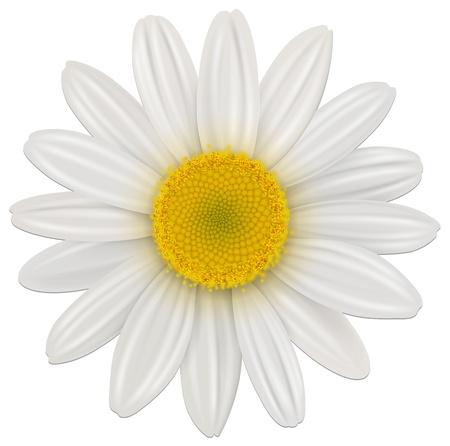Daisy, fiori di camomilla isolato; vettore. Vettoriali