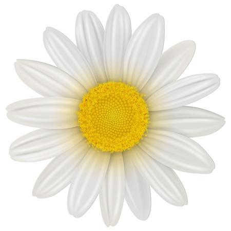 Daisy, fiori di camomilla isolato, vettore.