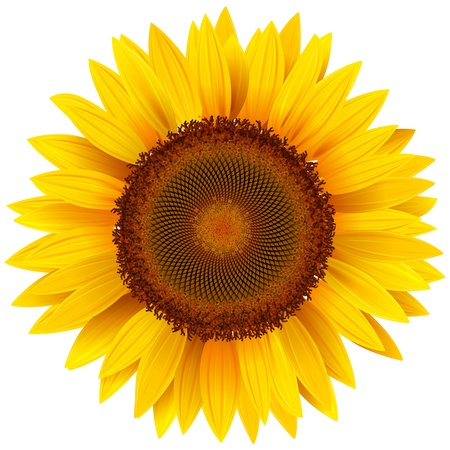 sunflower. Vector