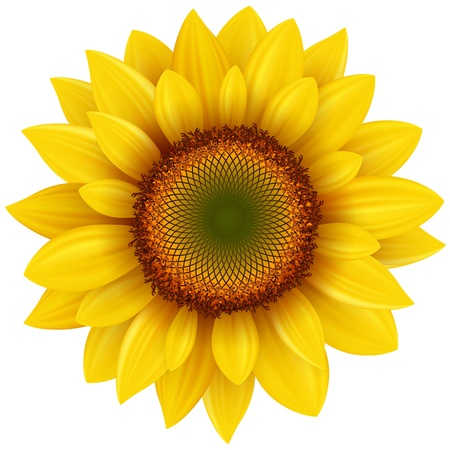 sunflower isolated: Vector sunflower, realistic illustration.