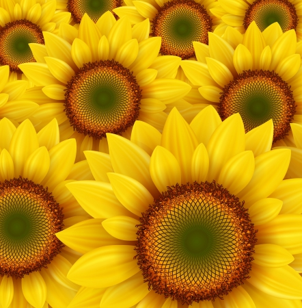 sunflowers field: Sunflower field as summer background, vector illustration.