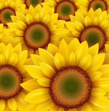 zonnebloem: Zonnebloem veld als zomer achtergrond, vector illustratie.