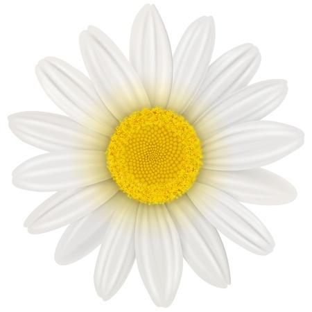 Daisy, flower isolated,  illustration  Stock Vector - 20343993