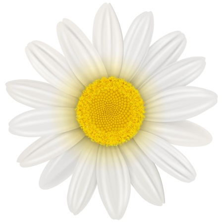 daisyflower: Daisy, flower isolated,  illustration
