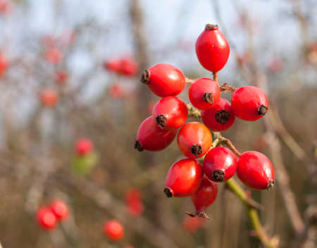 wild rose hips Stock Photo - 23103287