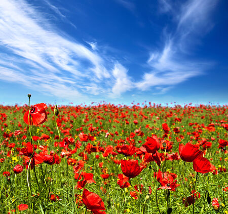Summer landscape, poppy flowers field. photo