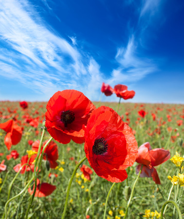 Poppy flowers field, summer beautiful landscape. photo