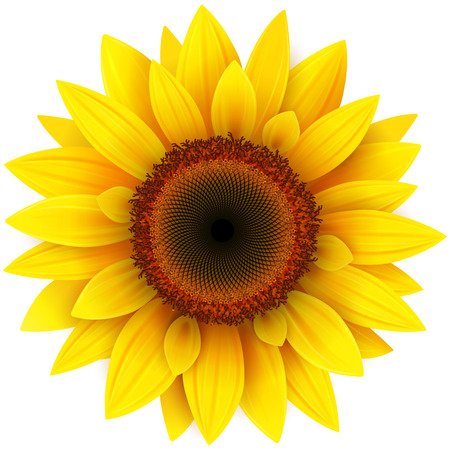 Sunflower, realistic vector illustration. Vettoriali