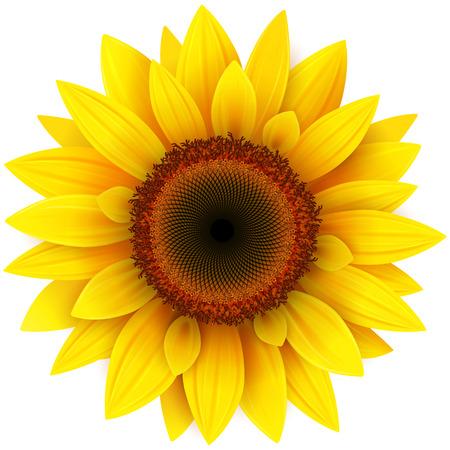 Sunflower, realistic vector illustration. Stock Illustratie