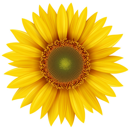 with pollen: Sunflower isolated, vector illustration.