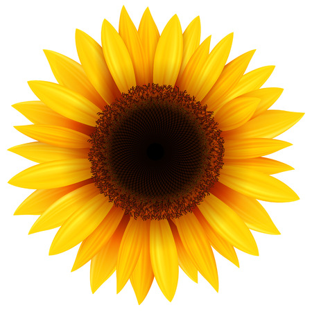 sunflower isolated: Girasol aislado, ilustraci�n vectorial.