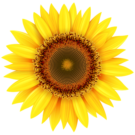 Sunflower isolated, vector illustration.