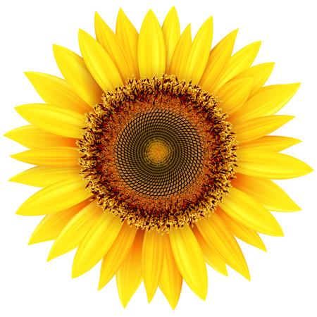 Sunflower isolated, vector illustration. Reklamní fotografie - 44844911