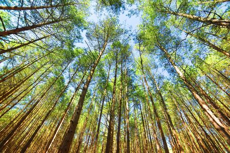 canopy: Looking up in pine forest tree to canopy. Bottom view wide angle background