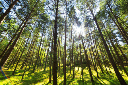 blue sky: Pine forest tree wide angle view background