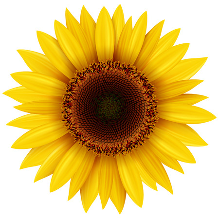Sunflower isolated, illustration.