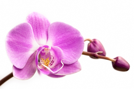 isolated flower: Pink orchid flower on a white background.  Orchid flower isolated.