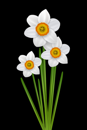 springtime: Flowers narcissus bouquet, spring white flower on black, vector illustration.