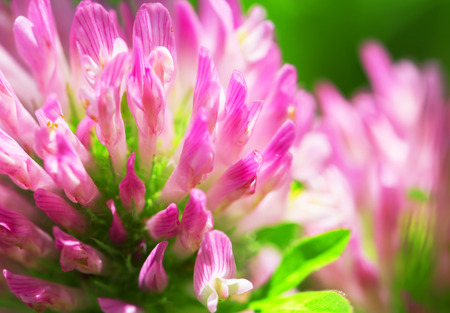 red clover: Red Clover Flower Macro Stock Photo