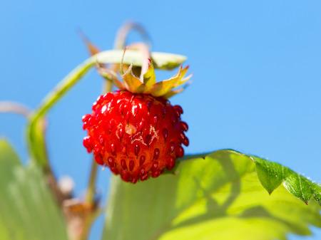 'wild strawberry: Wild Strawberry fruit macro Stock Photo