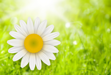 chamomile flower: Green Background with chamomile flower, summer vector illustration.