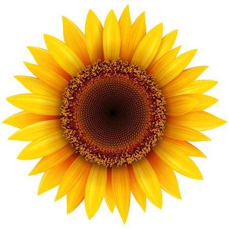 Flor de girasol aislado, ilustración vectorial.