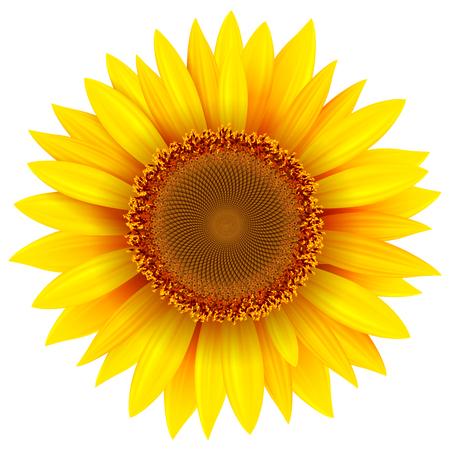 Sunflower isolated, vector illustration. Фото со стока - 116435859