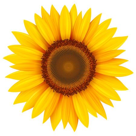 Sonnenblume isoliert, Vektor-Illustration. Vektorgrafik
