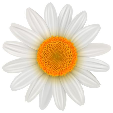 Daisy flower isolated, vector illustration.