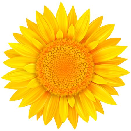 Flower isolated, yellow summer wild flower vector illustration.