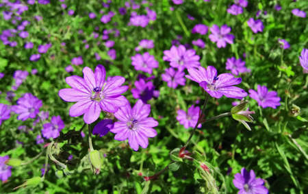 Flower background macro with purple wild spring flower.