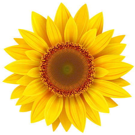 Sunflower isolated, yellow summer flower vector illustration.