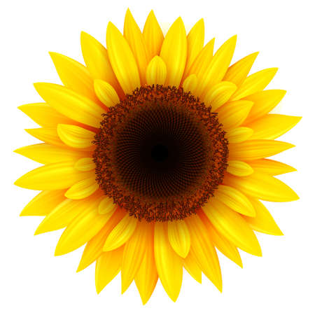 Sunflower isolated, realistic yellow summer flower vector illustration.