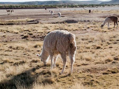 bolivia: Altiplano in Bolivia
