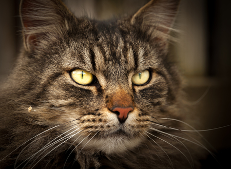 chordates: Portrait of a domestic cat looking straight out Stock Photo