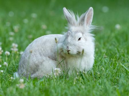 lapin: Un jeune lapin blanc est assis dans l'herbe verte