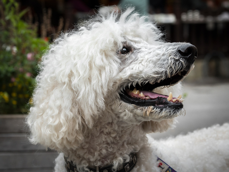 Portrait of a white royal poodle with an open mouth Stock Photo